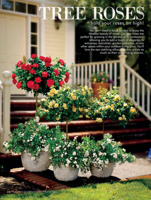 Shoppingcart Test - J&P - Radiant Perfume 24-inch Patio Tree Rose