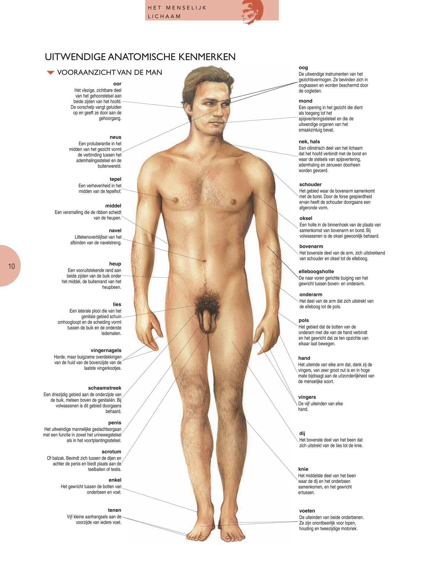 spieren menselijk lichaam buik