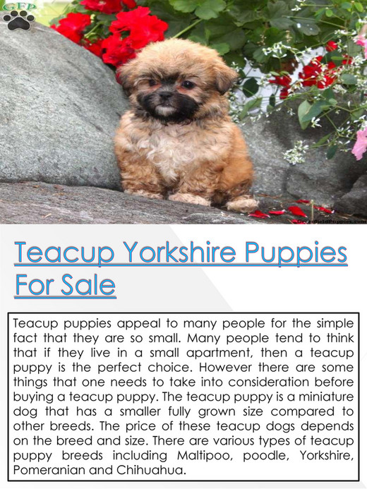 Teacup Yorkie Puppies - Teacup Puppies For Sale - Page 8-9